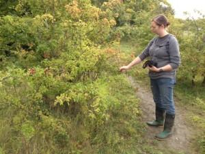 Gathering hawthorn berries