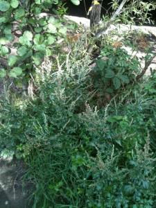 Mugwort (Artemesia vulgaris)