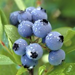 blueberry - herbal remedy