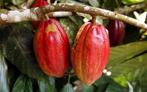 cocoa_fruits_1761197b