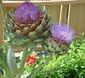 Artichoke-in-Bloom