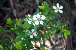 Wildflower Leptospermum grandifolium Bairne Track